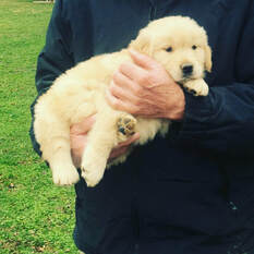 new golden puppy with owner